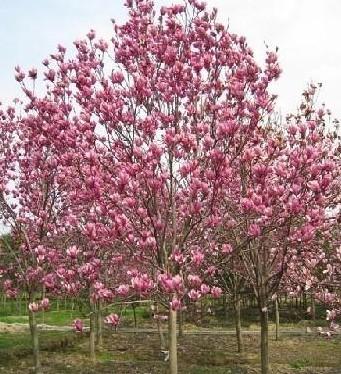 新原苗木行道树类:榉树,高杆女贞,樱花,紫荆,紫薇,广玉兰,白玉兰