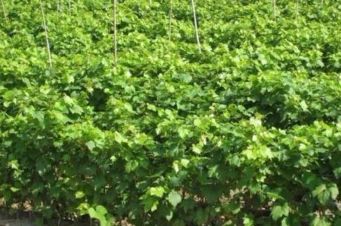 用优质1-10年生的苹果树、梨树、大樱桃树、桃树、山楂树、核桃树、